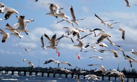 Birds of Altona