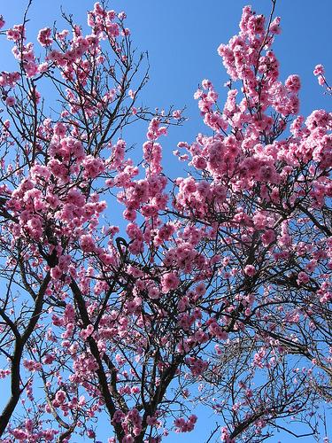 Peach Blossom 005