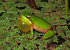 Litoria fallax croaking_3821
