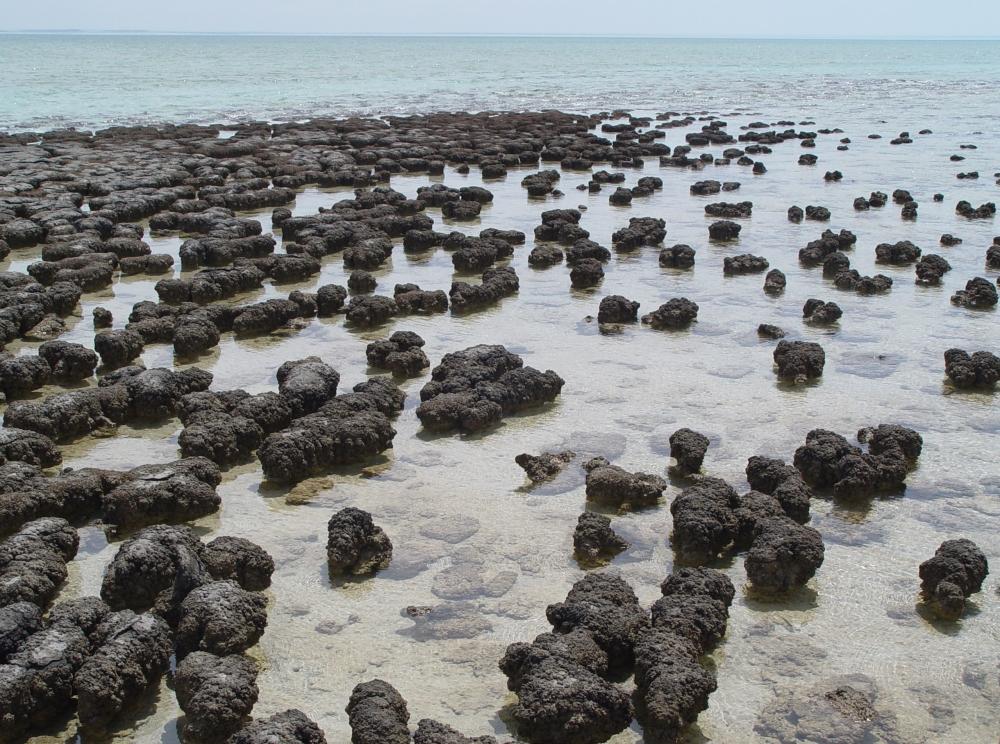 Stromatolites in Shark Bay