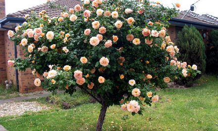 A Special Rose Tree in Altona