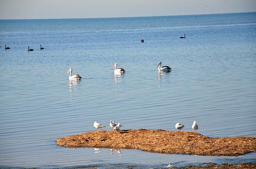 Pelicans 03