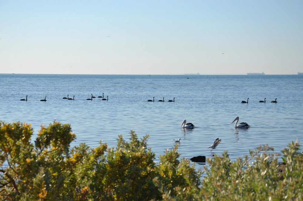 Pelicans 02