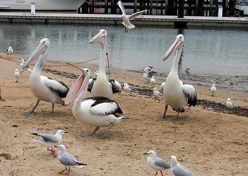 San Remo Pelicans BeeLing 16m