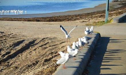 Swarming of Silver Gulls in Altona