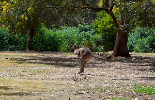 Kangaroo 02m