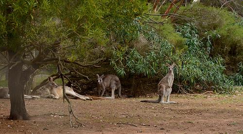 Kangaroo 10m