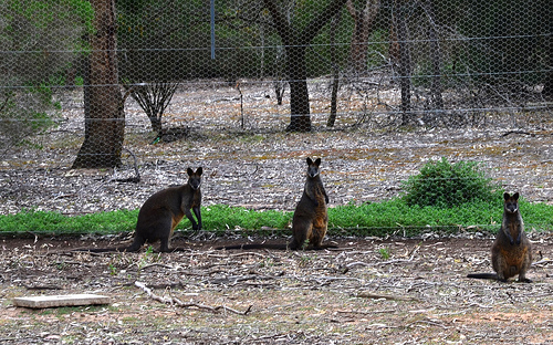 Wallaby 01m