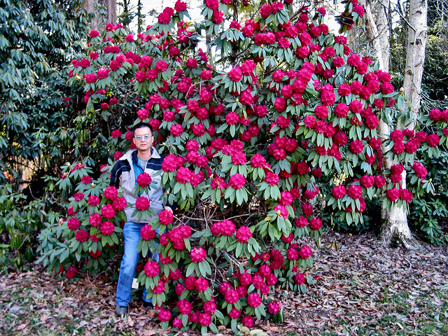 Rhododendrons 41