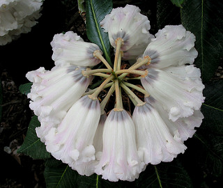 Rhododendrons 051