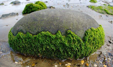 Altona Seaweed Control