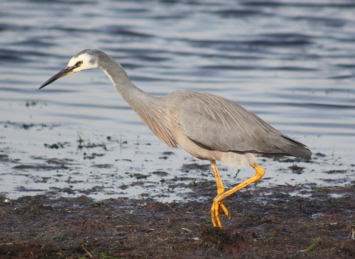 White Faced Heron 19-05-09