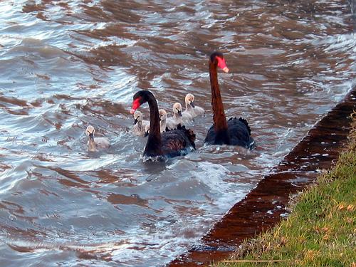 Cherry Lake Black Swans 04