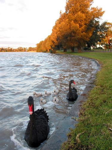 Cherry Lake Sunset Black Swans 09