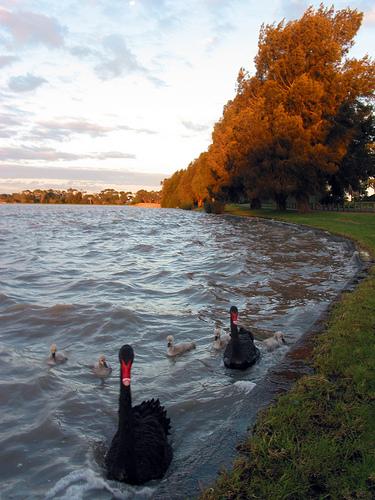 Cherry Lake Sunset Black Swans 08