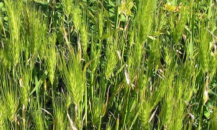 Wild Wheats in P.A. Burns Reserve