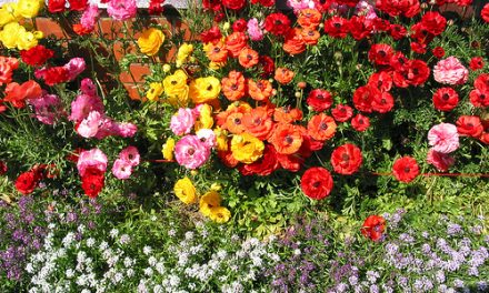 The Ranunculus Extravaganza
