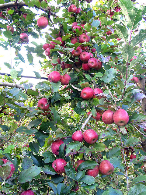 Alpine Apple Tree 01