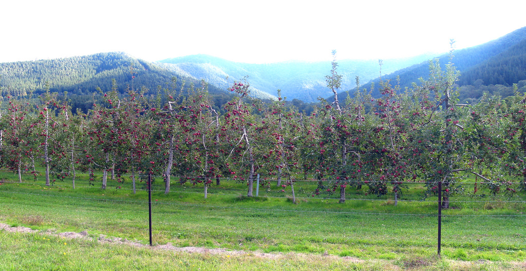 Alpine Apple Orchard A
