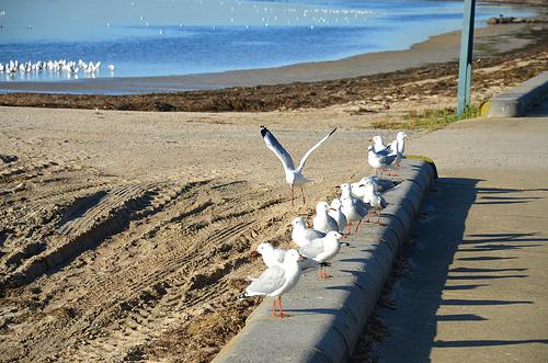 Swarming of Silver Gulls in Altona