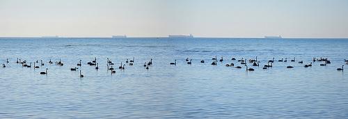 Black Swan C