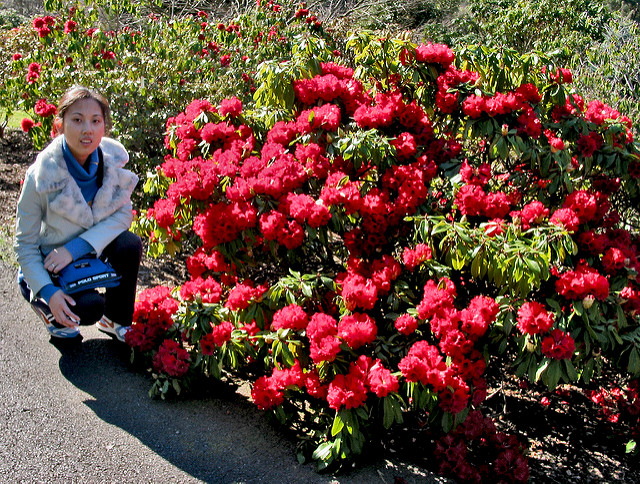 Rhododendrons 11