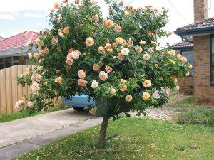 9 Medford St Altona Rose Shrub