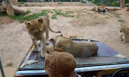 A Close Encounter with the Lions