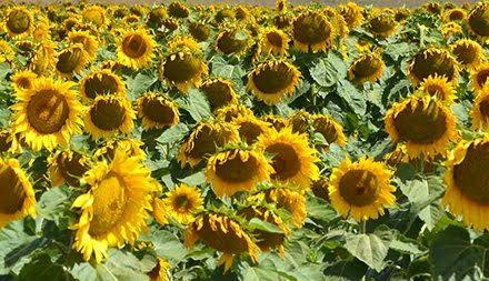 Sunflower Fields of Bellarine