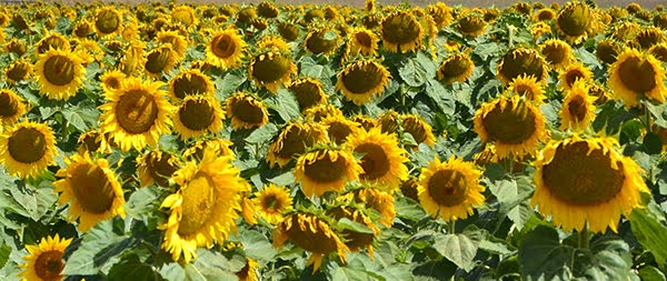 Sunflower Fields of Bellarine